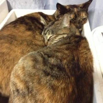 キジトラ猫箱昼寝の猫画像