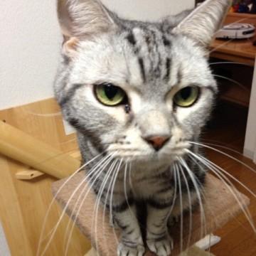 サバトラ猫キャットタワーの猫画像