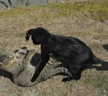 黒猫キジトラ猫子猫喧嘩の猫画像
