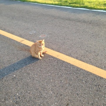 茶トラ猫子猫道路の猫画像