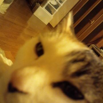 サビトラ白猫屋内の猫画像