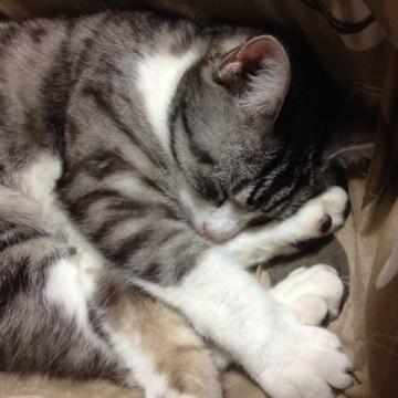 サビトラ白猫昼寝屋内の猫画像