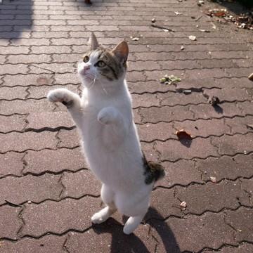 キジトラ白猫レンガの猫画像