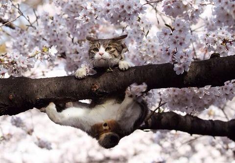 キジトラ白猫桜の猫画像