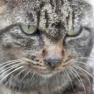 キジトラ猫の猫画像