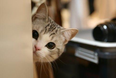 サビトラ白猫子猫屋内の猫画像