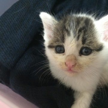 サバトラ白子猫の猫画像