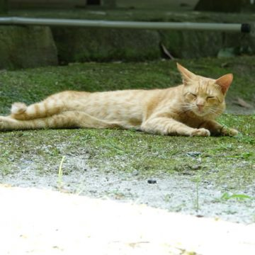 茶トラの猫画像