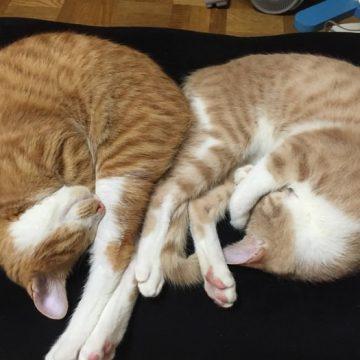 茶トラ白猫2匹睡眠の猫画像