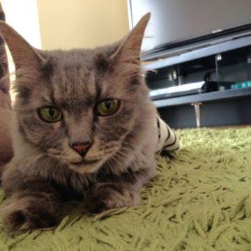 サバトラの猫画像