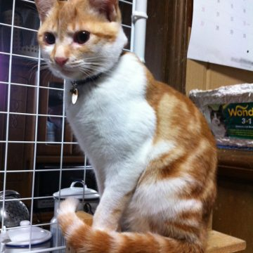茶トラ白の猫画像