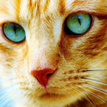 茶トラ顔の猫画像