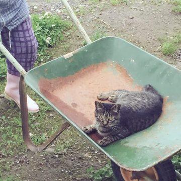 キジトラリヤカーの猫画像