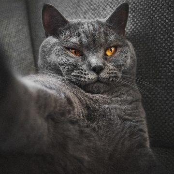 灰黒猫の猫画像