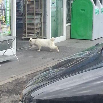 白猫ファミリーマートの猫画像
