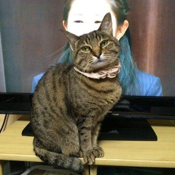 キジトラ澤穂希の猫画像