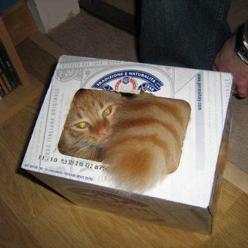 茶トラ箱入りの猫画像