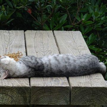 キジトラ睡眠の猫画像