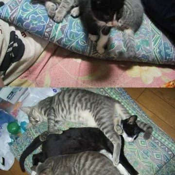 キジトラハチワレ子猫から成猫に成長の猫画像
