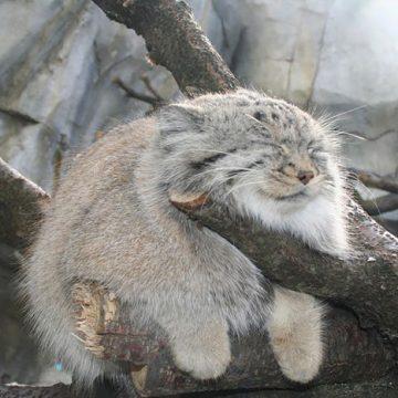 山猫の猫画像