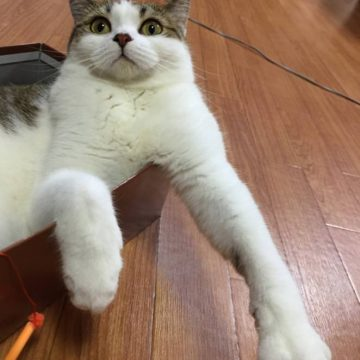 キジトラ白猫の猫画像