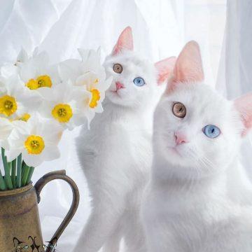 白猫オッドアイ2匹の猫画像