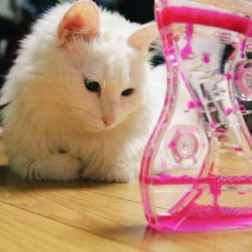 白猫の猫画像