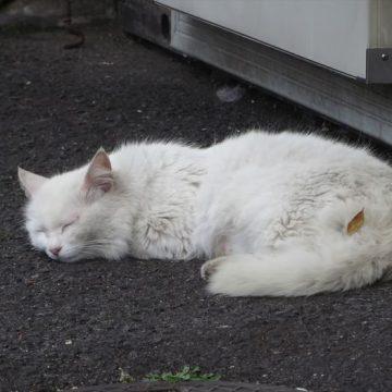 白猫睡眠の猫画像