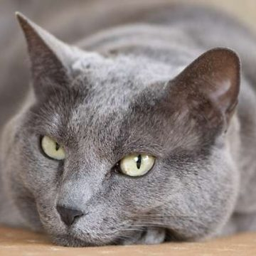 灰の猫画像