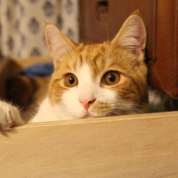 茶トラ白タンスの猫画像