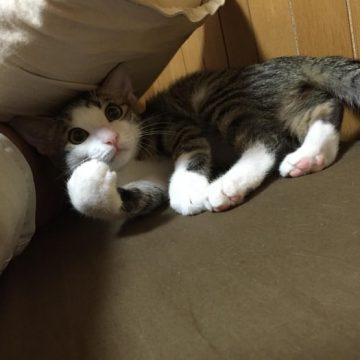 キジトラ白子猫の猫画像