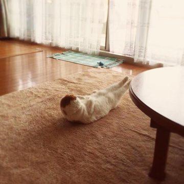 白茶猫足ピン変な姿勢の猫画像