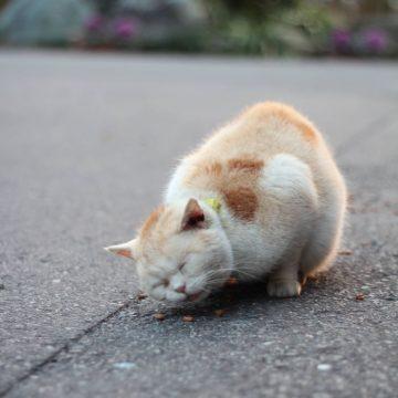 茶白猫の猫画像