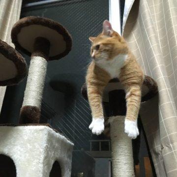茶トラ白キャットタワーの猫画像