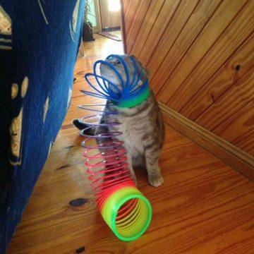 キジトラおもちゃの猫画像