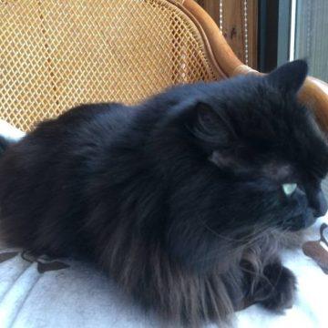黒猫イスの猫画像