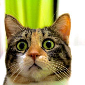 キジトラ三毛びっくりの猫画像