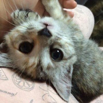 キジトラ子猫の猫画像