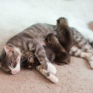 キジトラ親子の猫画像