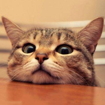 キジトラ顔の猫画像