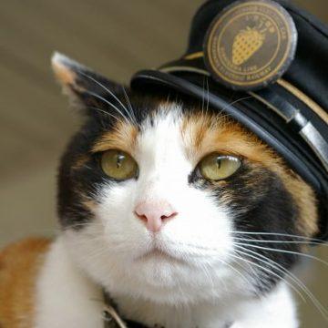 三毛猫駅長の猫画像