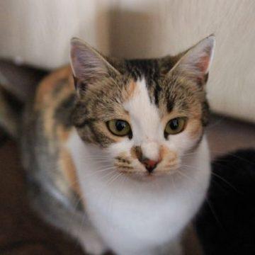 三毛白の猫画像