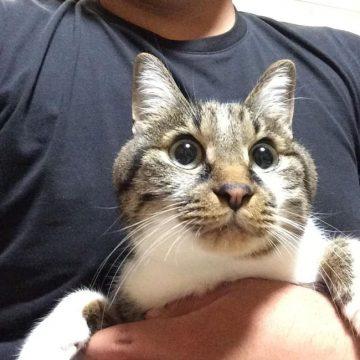 キジトラ白飼い主の猫画像