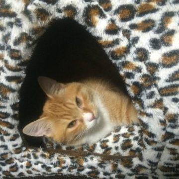 茶トラキャットハウスの猫画像