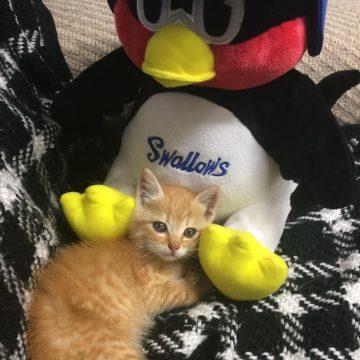 茶トラ子猫つば九郎の猫画像