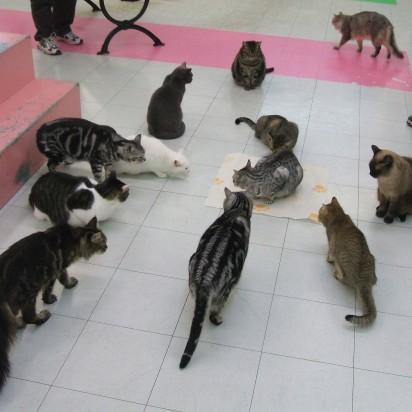 サバトラ猫サバトラ白猫白猫ポインテッド猫