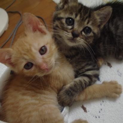 茶トラ猫キジトラ猫タオル