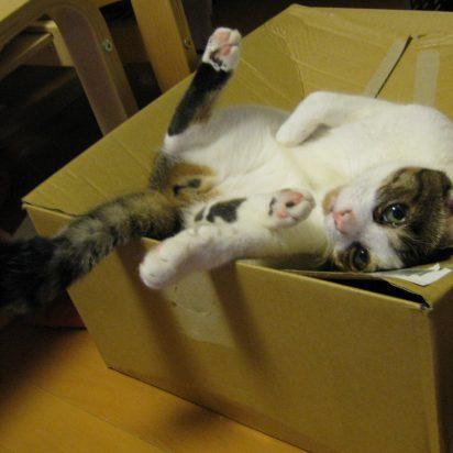 サバトラ白猫ダンボール