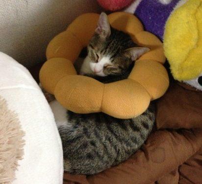 キジトラ白猫昼寝