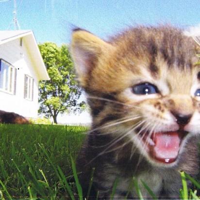 キジトラ猫子猫芝生
